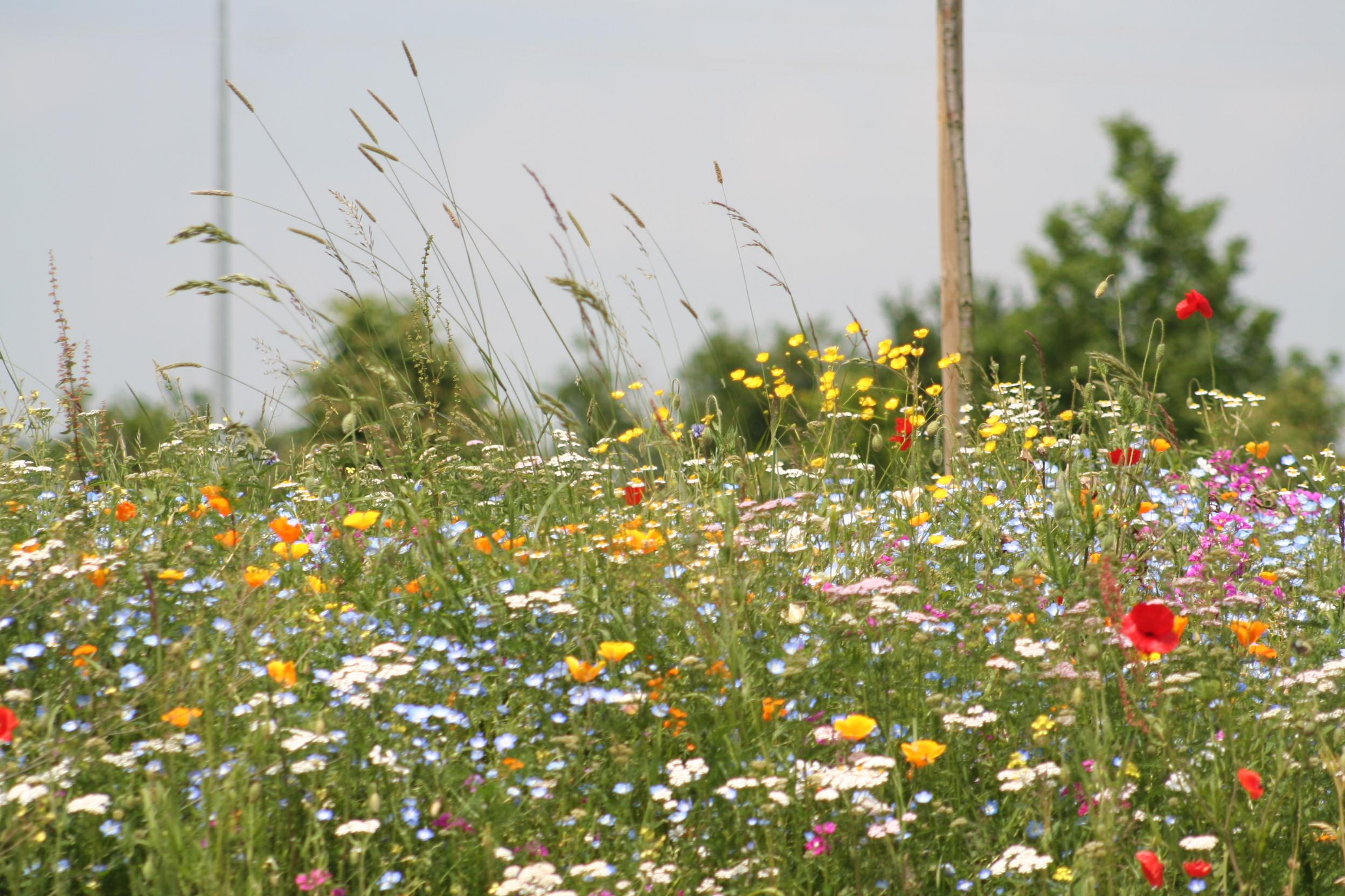 Nova Flore Champigné Les Hauts d'Anjou Solutions Naturelles prairie fleurie