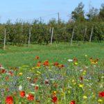 jachère fleurie arboriculture nova-flore Champigné