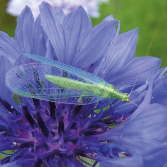 chrysope fleur