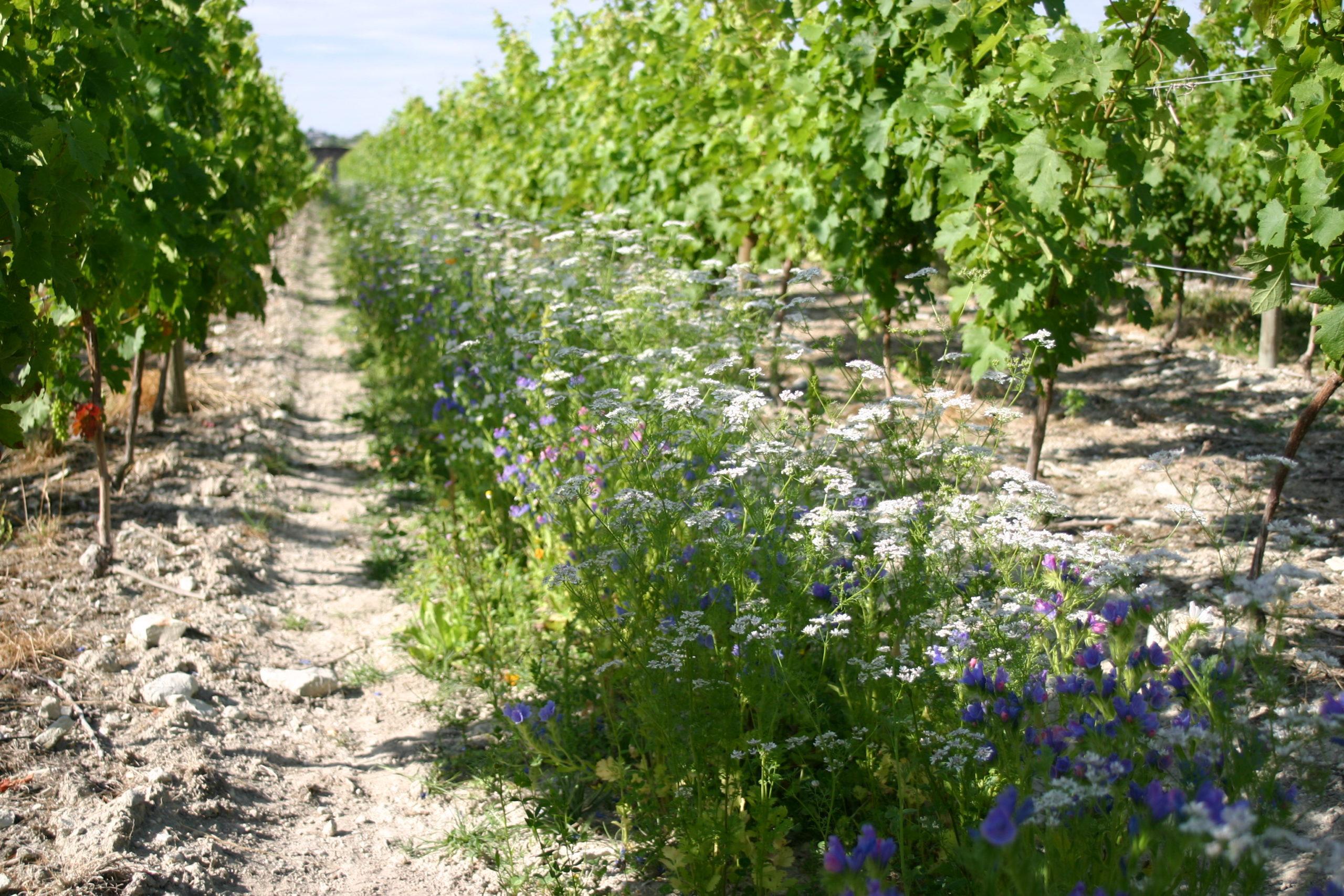 vigne inter-rang